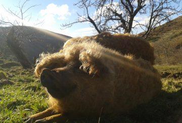 Cochon de race Mangalitza